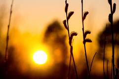 Willow at sunset Royalty Free Stock Images