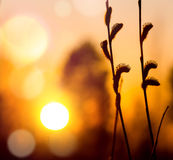 Willow at sunset Royalty Free Stock Image