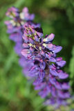 Willow tea flower. In summer garden Stock Photo