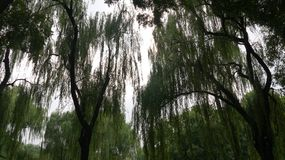 Willow Stock Images