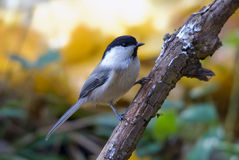 Willow tit Stock Images