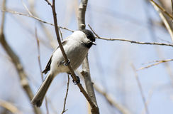 Willow tit. Royalty Free Stock Image