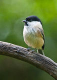 Willow Tit Royalty Free Stock Photos