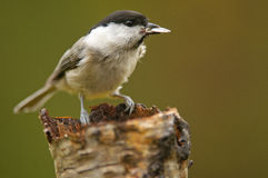 The Willow Tit Royalty Free Stock Photos