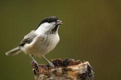 The Willow Tit Royalty Free Stock Photography