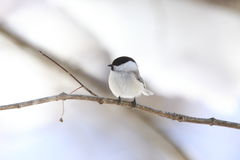 Willow Tit Stock Image