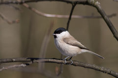 Willow Tit Stock Photo
