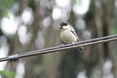 Willow Tit Royaltyfri Foto