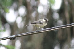 Willow Tit Royaltyfria Foton