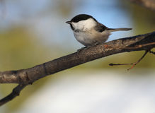 Willow Tit Arkivfoton