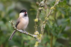 Willow tit. This bird is easy to confuse with the Marsh tit but recognisable at it's singing Stock Photography