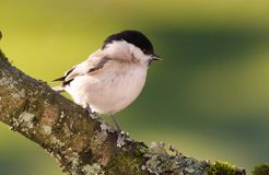 Willow tit - bird Royalty Free Stock Image