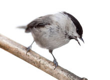 Willow Tit, Black-capped Chickadee, Parus montanus. Willow Tit, or Black-capped Chickadee (Parus montanus) in front of white background Stock Photography