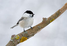 Willow Tit on the branch Royalty Free Stock Images