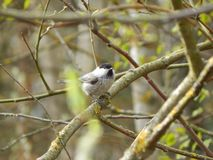 Willow tit on branch Minsk, Belarus royalty free stock photography