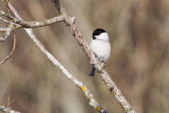 Willow Tit on a branch Royalty Free Stock Images