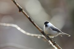 Willow tit on a branch of tree. Pictured a willow tit on a branch of tree Stock Photo