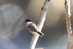 Willow tit on a branch of tree. Pictured a willow tit on a branch of tree Royalty Free Stock Photo