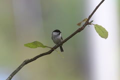 Willow Tit on the branch of tree Stock Image