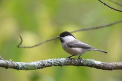 Willow Tit on the branch of tree Royalty Free Stock Photo