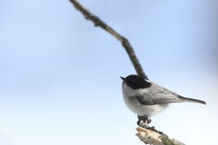 Willow Tit on the branch of tree Stock Photos