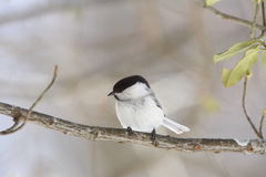 Willow Tit on the branch of tree Stock Images