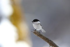 Willow Tit on the branch of tree Stock Photography