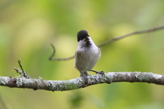 Willow Tit on the branch of tree Royalty Free Stock Images