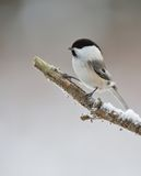 Willow tit on a branch Stock Images