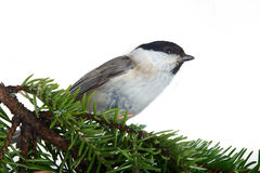 Willow tit on a fir-tree Stock Image