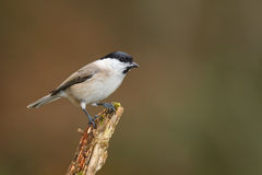 Willow tit in forest Stock Image