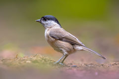 Willow tit on forest floor Royalty Free Stock Photos