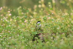 Willow tit in grassy place Royalty Free Stock Photo