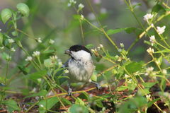 Willow tit in grassy place Stock Photography