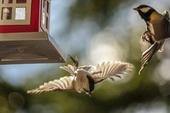 Willow tit and great tit fighting at a bird table stock photo