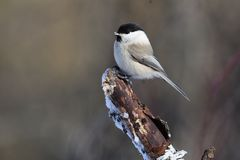 Willow tit with ice crystals on its beak sits on a thick broken branch. Willow tit Poecile montanus with ice crystals on its beak sits on a thick broken branch Stock Photos