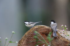 Willow tit on log Stock Photos