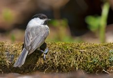 Willow tit on a heavy mossy trunk from back view royalty free stock image