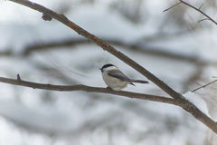 Willow tit o in winter forest. Parus montanus. Royalty Free Stock Images