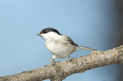 Willow Tit, Parus montanus Royalty Free Stock Image