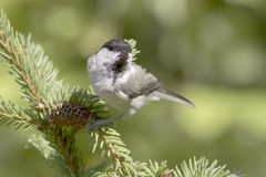 Willow tit  / Parus montanus Royalty Free Stock Photo