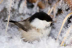 Free Willow Tit (Parus Montanus) Royalty Free Stock Photography - 7476527