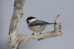 Willow tit, Parus montanus borealis Royalty Free Stock Photography