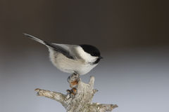 Willow tit, Parus montanus borealis Stock Photography