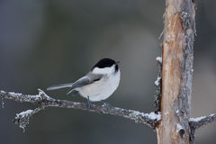 Willow tit, Parus montanus borealis Stock Photos