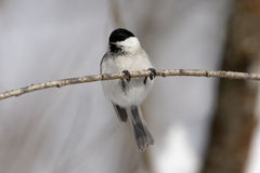 Willow tit, Parus montanus Stock Photography