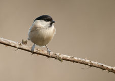 Willow tit (Parus montanus) Royalty Free Stock Photography