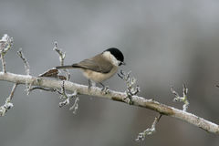Willow tit, Parus montanus Royalty Free Stock Photos