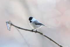 Willow tit Royalty Free Stock Photography