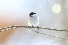 Willow tit Stock Photography